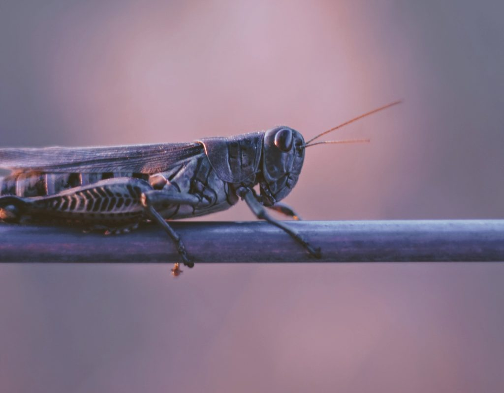 What Can Kenyans Use to Control Locusts?